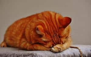 Benadryl For Cats - Can Kitty Have It, How To Give And The