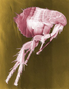 image of a flea bug
