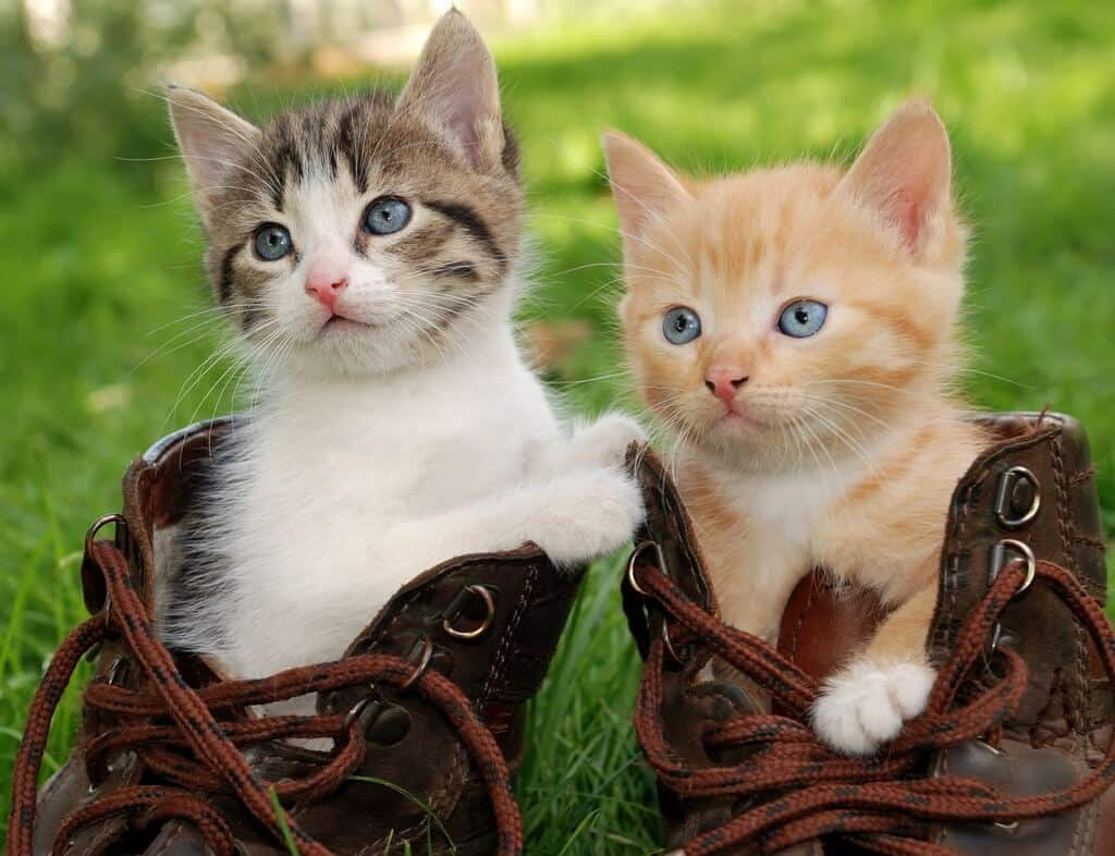 image of couple of little kittens sitting in boots