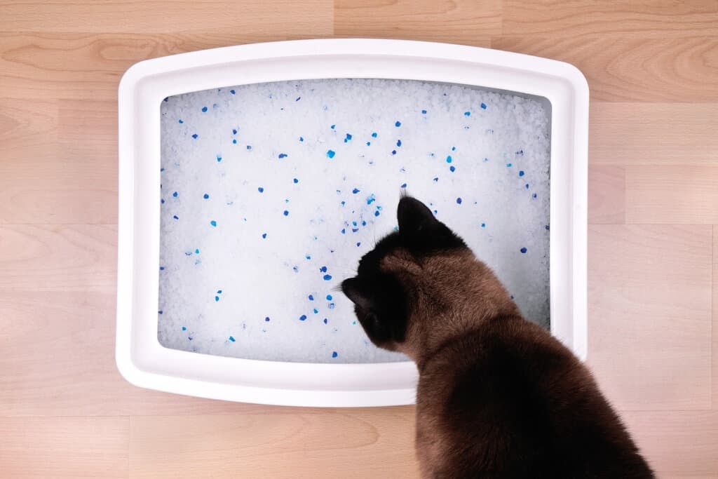 feline at her litter box
