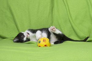 black and white kitten playing on green background