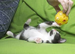 black and white kitten on green background playing with a man